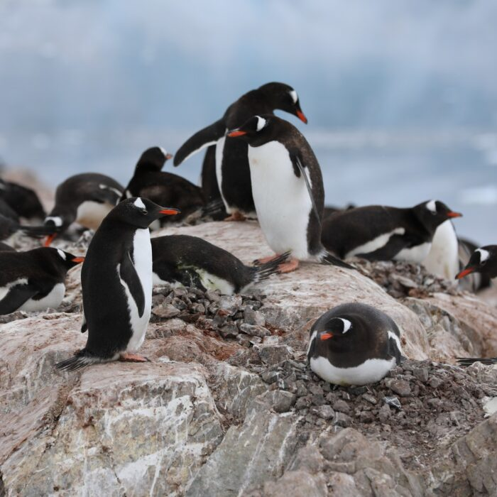 penguins on a rock