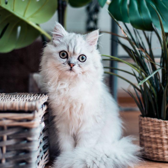 white cat next to basket