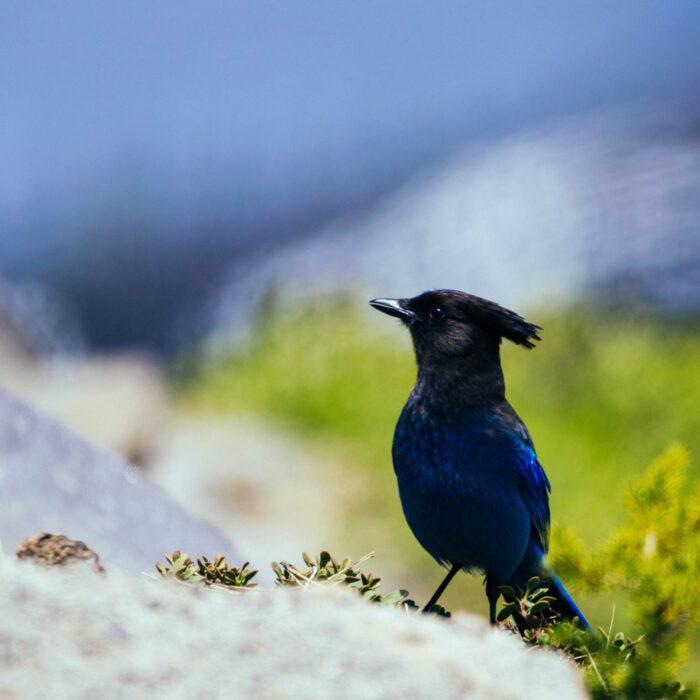 blue jay bird on the ground