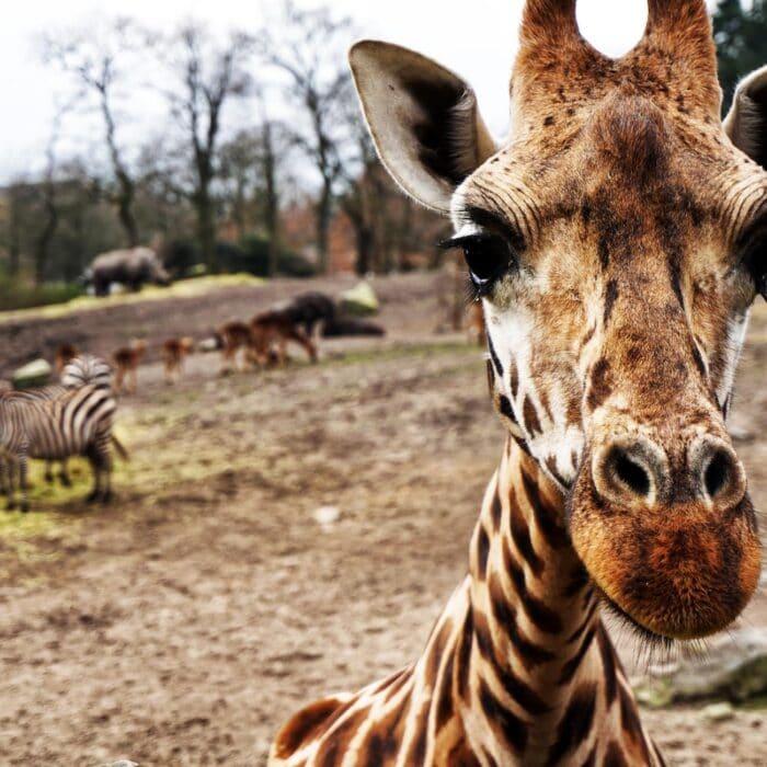 giraffe and zebra in the sahara